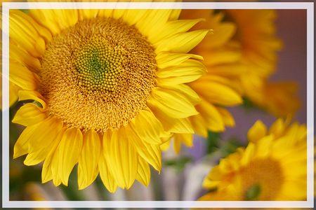 Sunflowers_b